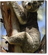 Koala Acrylic Print by Bob Christopher