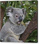 Koala Joey Australia Acrylic Print
