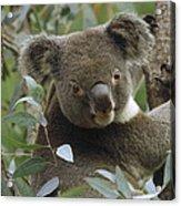 Koala Male In Eucalyptus Australia Acrylic Print