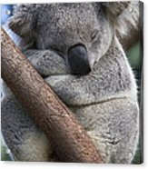Koala Male Sleeping Australia Acrylic Print