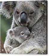 Koala Mother Holding Joey Australia Acrylic Print