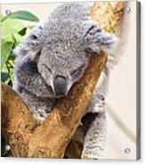 Koala Sleeping  Acrylic Print