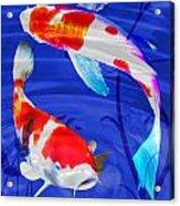 Kohaku Koi In Deep Blue Pool Acrylic Print