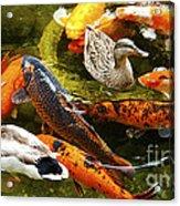 Koi Fish In Pond Swimming With Two Mallard Ducks Acrylic Print