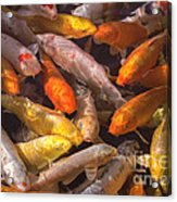 Koi Fish Nishikigoi  Acrylic Print