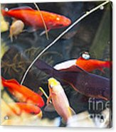 Koi Pond The Symbol Of Love And Friendship Acrylic Print