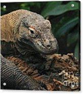 Komodo-7393 Acrylic Print