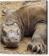 Komodo Dragon Male Basking Komodo Island Acrylic Print