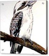 Kookaburra 5 Acrylic Print