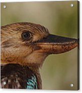 Kookaburra Portrait Acrylic Print