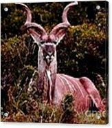 Kudu Bull Acrylic Print