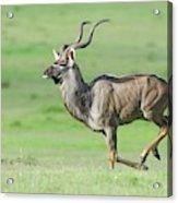 Kudu Bull Running Across Open Veld Acrylic Print