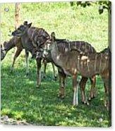 Kudu Antelope In A Straight Line Acrylic Print