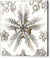 Kunstformen Der Natur Acrylic Print by Ernst Haeckel