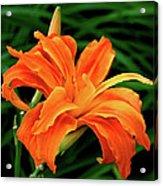 Kwanso Lily Acrylic Print