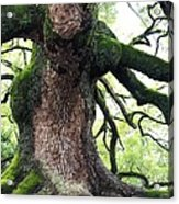 Kyoto Temple Tree Acrylic Print by Carol Groenen