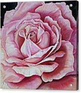 La Bella Rosa Acrylic Print