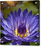 La Fleur De Lotus - Star Of Zanzibar Tropical Water Lily Acrylic Print