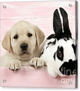 Lab Puppy And Bunny Acrylic Print