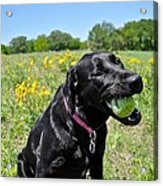Lab With A Tennis Ball Acrylic Print by Kristina Deane