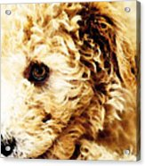 Labradoodle Dog Art - Sharon Cummings Acrylic Print