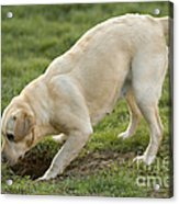 Labrador Checking Hole Acrylic Print