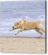 Labrador Dog Chasing Ball On Beach Acrylic Print