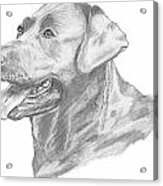 Labrador Dog Drawing Acrylic Print by Catherine Roberts