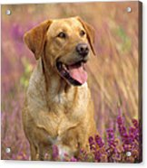 Labrador Dog Acrylic Print