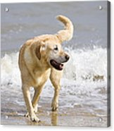 Labrador Dog Playing On Beach Acrylic Print