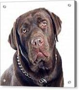 Labrador Dog Portrait  Acrylic Print