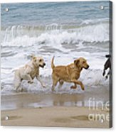 Labrador Dogs Running Acrylic Print