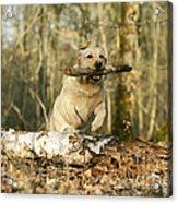 Labrador Jumping With Stick Acrylic Print