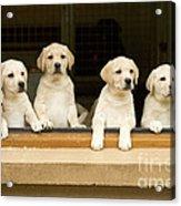 Labrador Puppies At Window Acrylic Print