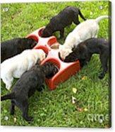 Labrador Puppies Eating Acrylic Print