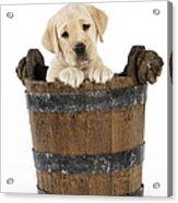 Labrador Puppy In Bucket Acrylic Print