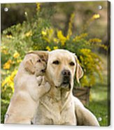 Labrador Puppy Playing With Parent Acrylic Print