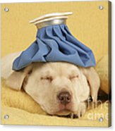Labrador Puppy With Ice Pack Acrylic Print