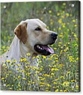 Labrador Retriever Dog Acrylic Print