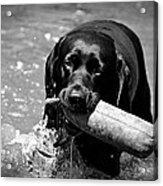 Labrador Retriever Acrylic Print by Emily Bemelmans