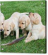 Labrador Retriever Puppies And Feather Acrylic Print