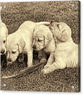 Labrador Retriever Puppies And Feather Vintage Acrylic Print