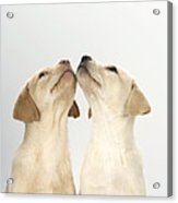 Labrador Retriever Puppies Acrylic Print