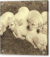 Labrador Retriever Puppies Nap Time Vintage Acrylic Print by Jennie Marie Schell