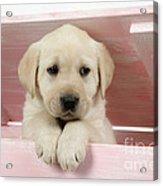 Labrador Retriever Puppy Acrylic Print