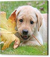 Labrador Retriever Puppy With Autumn Leaf Acrylic Print