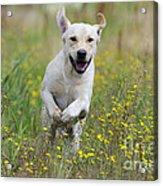 Labrador Running Acrylic Print