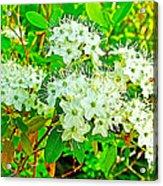 Labrador Tea In Sawtooth National Recreation Area-idaho  Acrylic Print