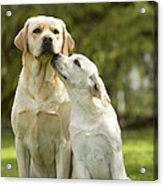 Labradors, Adult And Young Acrylic Print