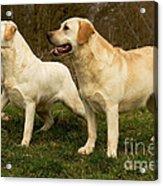 Labradors Acrylic Print